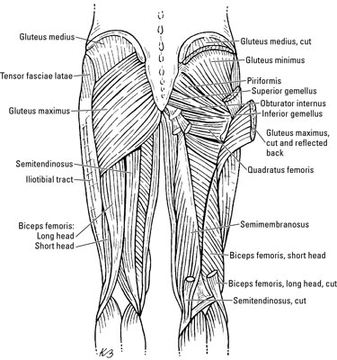 The Thigh Muscles - dummies