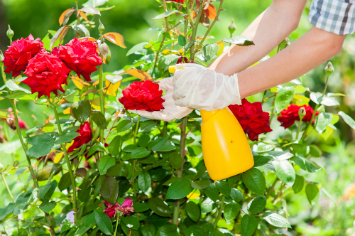 How to Take Care of Roses - dummies