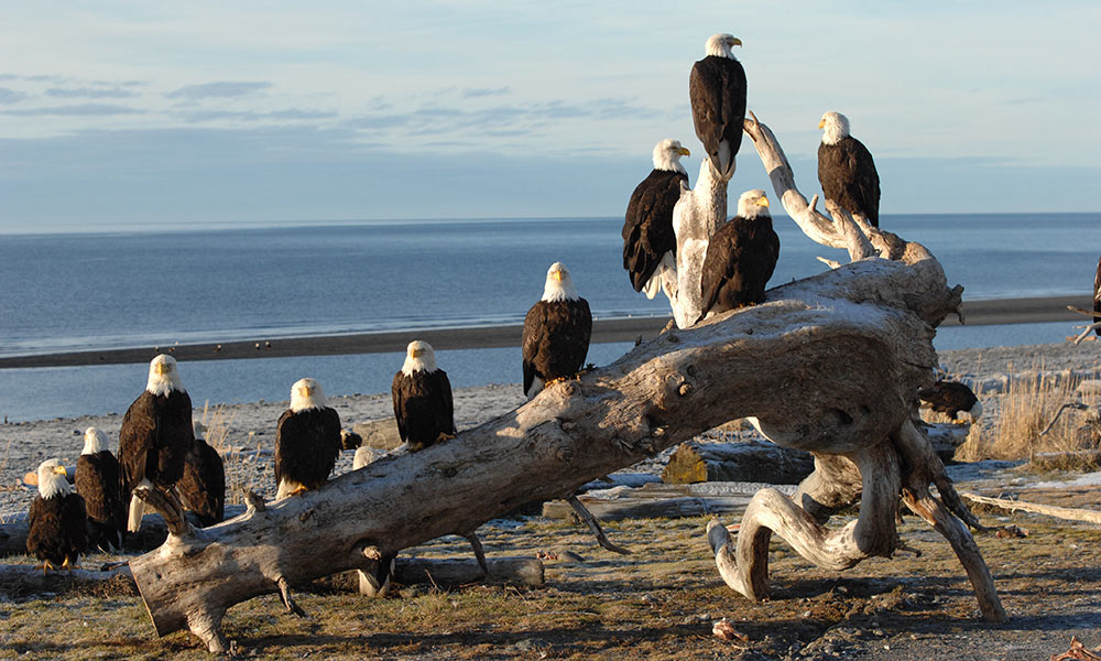 Bald Eagle Demographics \u2013 American Eagle Foundation