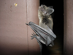 bat hanging on wall