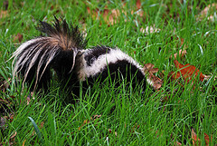 skunk in tall grass