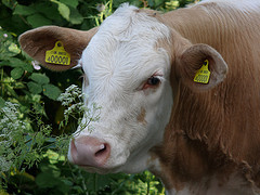 red cow with white face