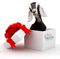 baby goat in Heifer International gift box