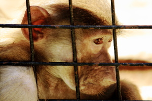 Monkey in a Cage