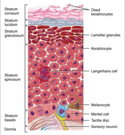 Cells And Layers of The Epidermis - Keratinocytes