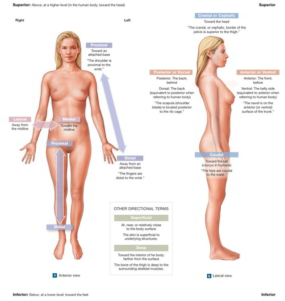 Directional Terms】 for Anatomical Position and Major Body Regions