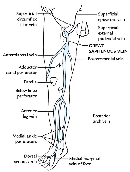 Easy Notes On 【Saphenous Vein】Learn in Just 4 Minutes! \u2013 Earth\u0027s Lab