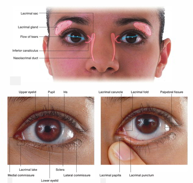 Easy Notes On 【Lacrimal Apparatus】Learn in Just 3 Minutes!