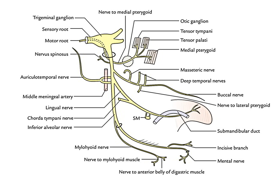 Easy Notes On 【Mandibular Nerve】Learn in Just 4 Minutes! \u2013 Earth\u0027s Lab