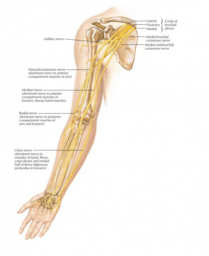 Easy Notes On 【Ulnar Nerve】Learn in Just 4 Minutes! \u2013 Earth\u0027s Lab