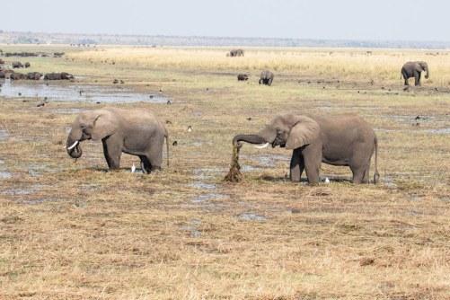 Elephants at Chobe