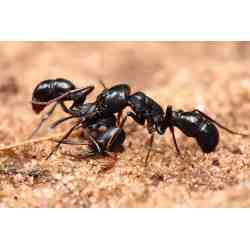 Small Crop Of Diatomaceous Earth Ants