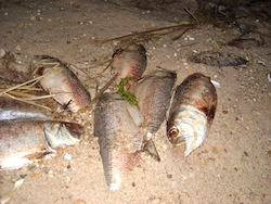 Schools of bunker were chased by bluefish onto the shores of Flanders Bay in May, 2008.