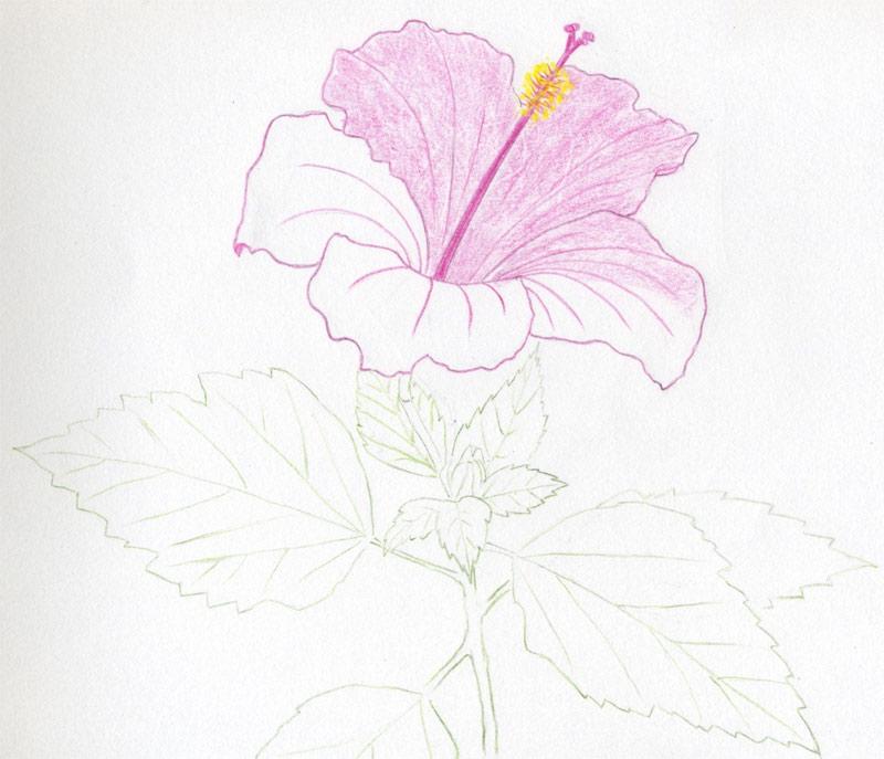 Hibiscus Flowers Drawing Tutorial