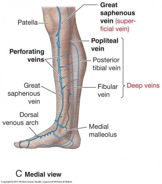 GSU Blood Vessels of the Lower Limb Flashcards Easy Notecards