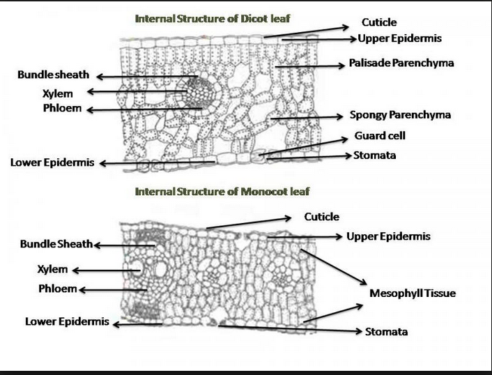 palisade cell diagram plants