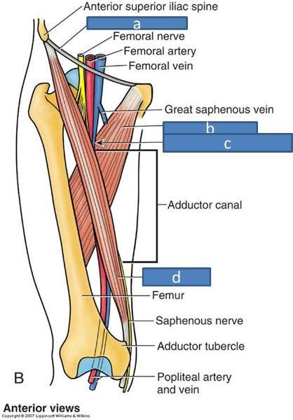 Print Anatomy Block III- Gluteal Region, Thigh, Lumbosacral Plexus - femoral triangle