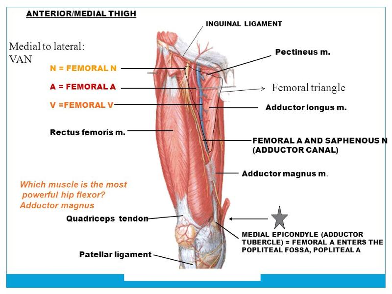 Special Areas of the Lower Limb Flashcards Easy Notecards - femoral triangle