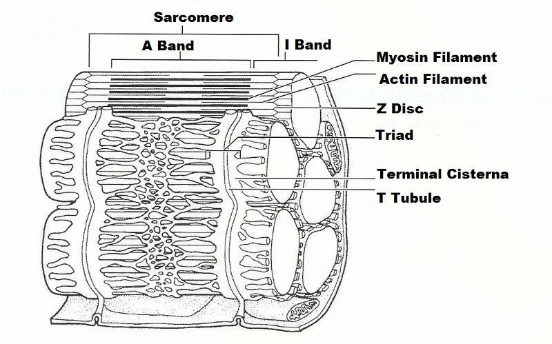 blank sarcomere diagram