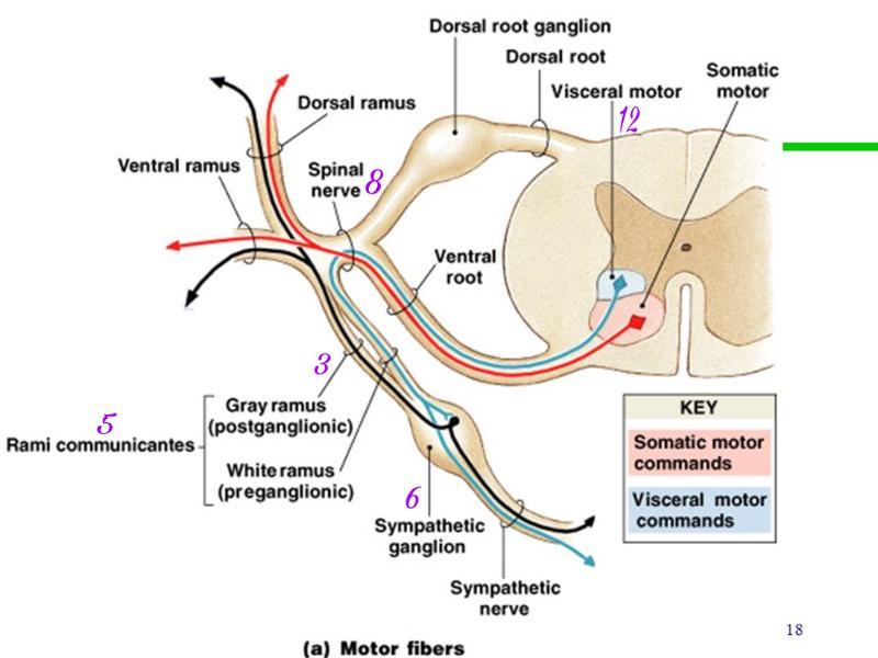 ventral root motor   kakamozza.org