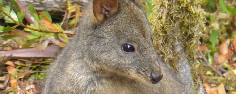 Meet Tasmania's Wildlife