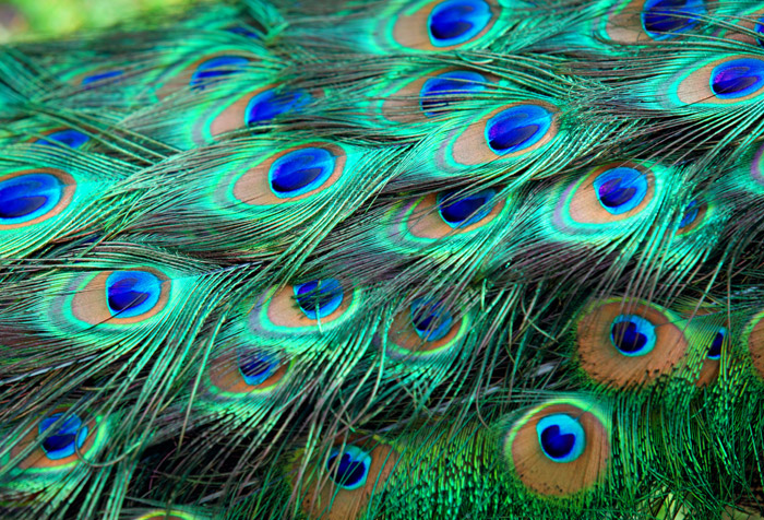 3d Wallpaper For Living Room In India Colorful Peacock Feathers Wallpaper For Hospitals Wall Decor