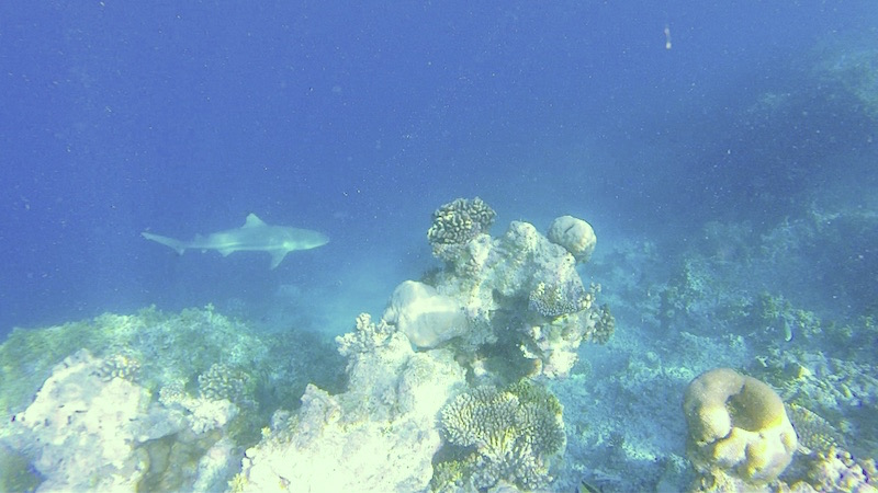 Baros Maldives Reef Sharks