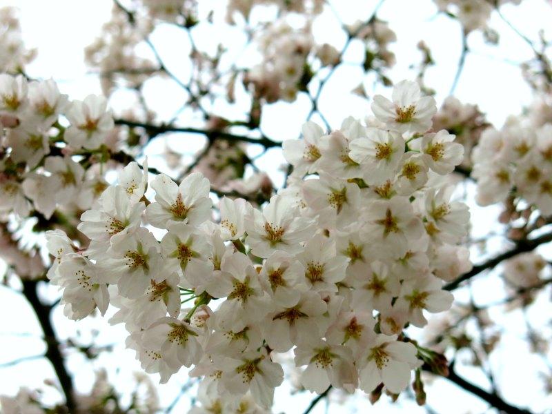 Cherry Blossoms Close-up Shot