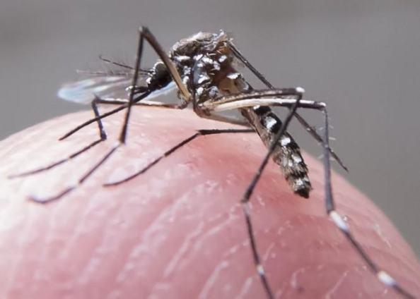 Aedes aegypti, o mosquito transmissor da dengue, também hospeda o Zika Virus