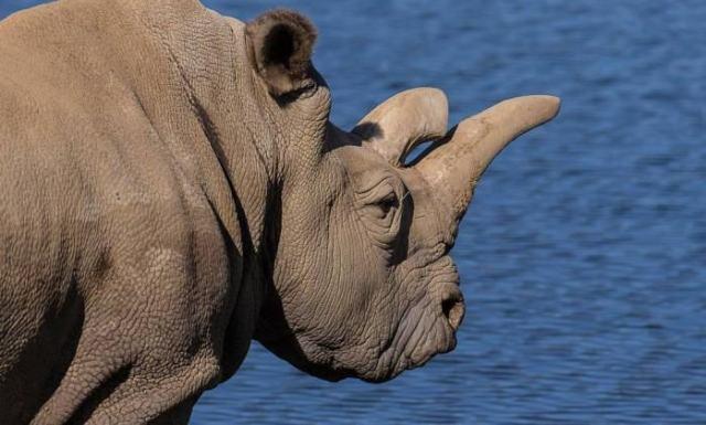 rinoceronte branco