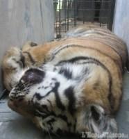 Tigri: trasferimenti conclusi, 15 enti coinvolti, costo: 15mila euro