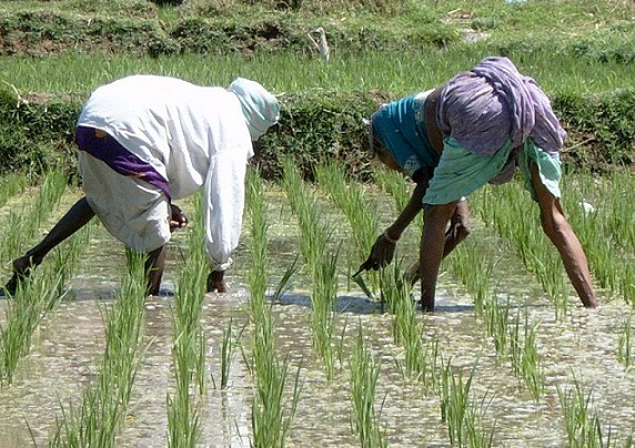 India's organic rice revolution proves GMOs are unnecessary