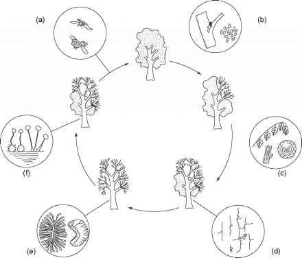 Dutch elm disease - Rain Forests - Ecology Center