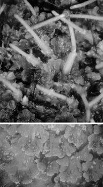 Представитель антоцеротовых – Folioceros fuciformis