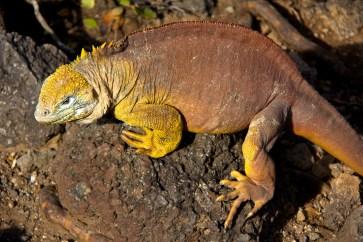 Land lizard, South Plaza Island, Galapagos Islands, Ecuador.