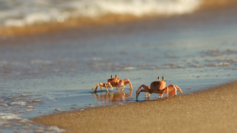 Ghost_Crab_(Ocypode_ryderi)_by_hyper7pro_Flickr,_South_Africa