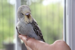 D Grey Baby English Budgie - if its a male (we think it is) he is reserved. COPYRIGHT 2017 Eddie's Aviary