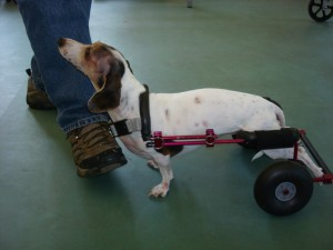 Wheelchairs For Dogs With Intervertebral Disk Disease