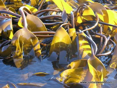 Oarweed kelp