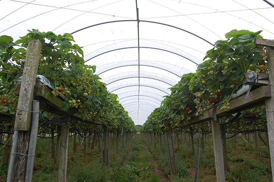 Inside one of the growing tunnels at Cragies PYO fruit farm