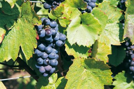 The Grolleau grape ©InterLoire Louis Marie Blanchard