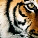 Starbucks a Toujours l'Oeil du Tigre !