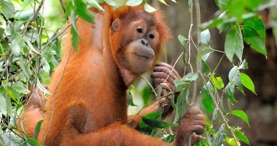 Young orang utan, Jambi, Sumatra, Indonesia - WWF