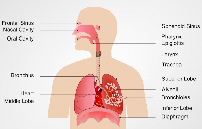 The Respiratory System Worksheet - EdPlace