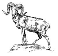 Disegno da colorare Argal - capra della montagna - Cat ...