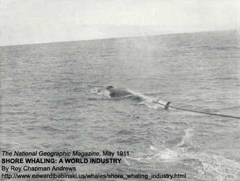Towing Whale to Factory