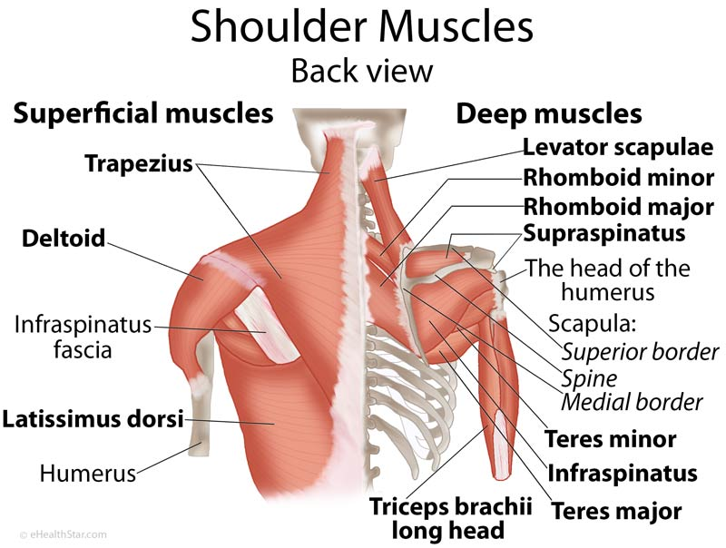 Shoulder Muscles Anatomy, Actions, Diagram eHealthStar