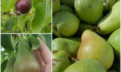 Pear Gift Pack – 2 dozen