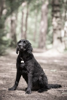 Portuguese Water Dog044