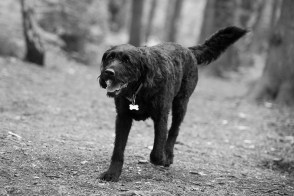 Portuguese Water Dog063